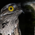 Is It Adorable or Frightening? Meet the Potoo Bird