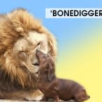 Bonedigger the Lion Strikes Unlikely Friendship with Wiener Dog